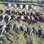 pheasants-hunting-in-Romania