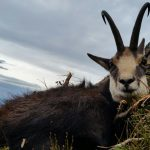 chamois hunting in romania