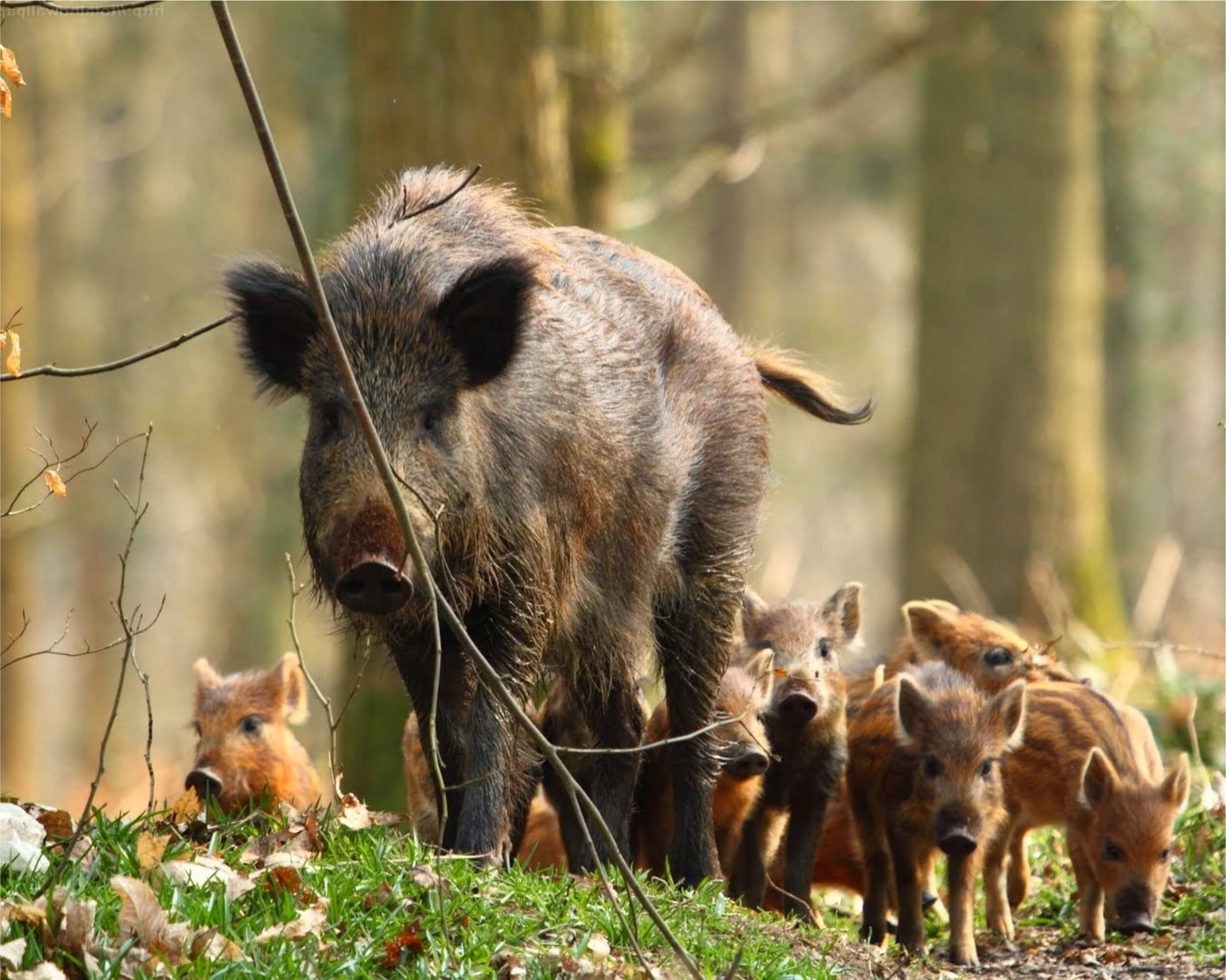 Wild boar baiting tips and techniques - Romania Hunting