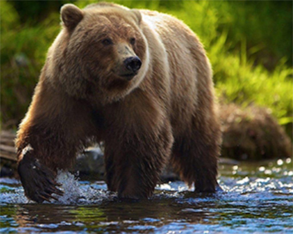 Brown bear hunting in Romania