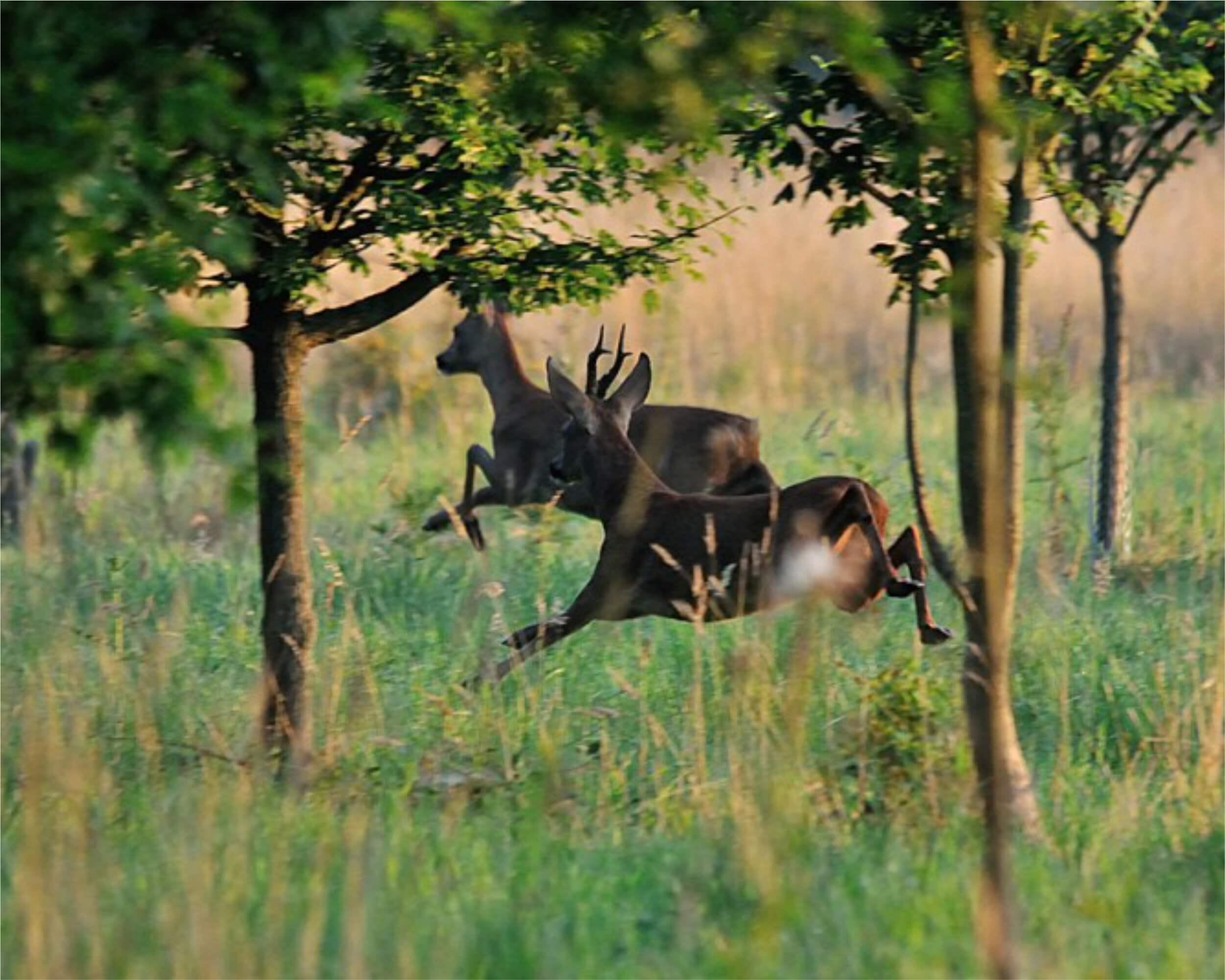 Roe deer hunting in Romania